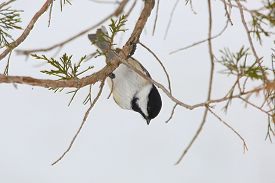 foto of chickadee  - Black - JPG