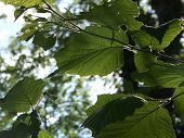 foto of mulberry  - Mulberry tree in the sunlight shinning through the chlorophyll - JPG