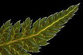 stock photo of fern  - Broad buckler fern  - JPG
