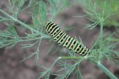 stock photo of green caterpillar  - green caterpillar with yellow spots on the back