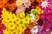 picture of chrysanthemum  - Close up group of multiple color Chrysanthemum - JPG