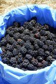 picture of blackberries  - Blackberry delicious juicy fresh berries on the bushes - JPG