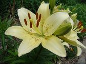 stock photo of monocots  - Lily white growing in nature blooms in summer - JPG