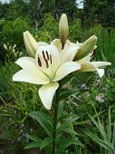 foto of monocots  - Lily white growing in nature blooms in summer - JPG
