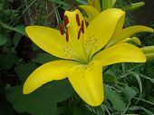 foto of monocots  - The yellow Lily grows in nature blooms in summer - JPG