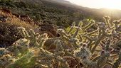 stock photo of tilt  - Tilted wide angle sunrise illuminates blooming chollas cactus on rugged desert floor in Red Rock conservation area Nevada during springtime - JPG