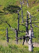 image of sakhalin  - Old curved trees on the coast of Sakhalin - JPG