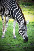 image of eat grass  - Wild African Zebra Eating Grass Head Shot  - JPG