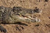 stock photo of crocodiles  - sunny riparian scenery with crocodile in Botswana Africa - JPG