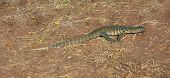 picture of monitor lizard  - sunny scenery with nile monitor in Botswana Africa - JPG