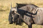 image of wildebeest  - savanna scenery with wildebeest in Botswana Africa - JPG