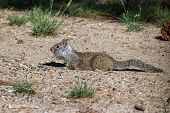 image of stuffed animals  - small ground squirrel collecting and stuffing into its cheeks nuts and seeds - JPG