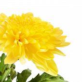 pic of chrysanthemum  - autumn yellow chrysanthemum - JPG
