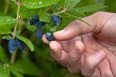 picture of honeysuckle  - women hand gathering berries honeysuckle in the garden - JPG