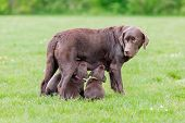 foto of puppies mother dog  - Female labrador retriever dog feeding her litter of adorable young brown puppies - JPG