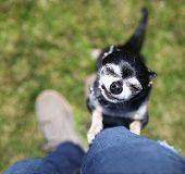 image of begging  -  a cute chihuahua begging to be picked up  - JPG