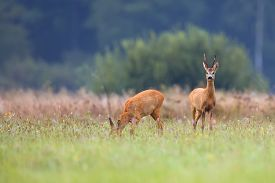 image of bucks  - Buck deer with roe - JPG