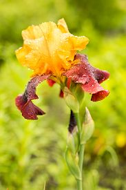 picture of rare flowers  - rare yellow and purple color iris flower on a natural green grass background  - JPG