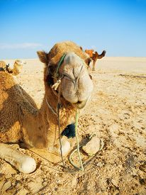 image of sahara desert  - Portrait of a camel in Sahara desert - JPG