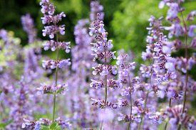 foto of catnip  - Catnip flowers  - JPG