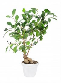stock photo of ginseng  - Ficus ginseng in pot isolated on white background - JPG