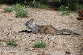 image of ground nut  - small ground squirrel collecting and stuffing into its cheeks nuts and seeds - JPG