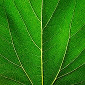 foto of photosynthesis  - Leaf of a plant close up - JPG
