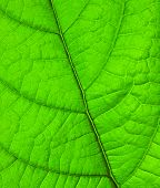 picture of green leaves  - green leaf - JPG