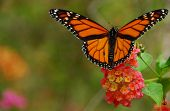 stock photo of monarch butterfly  - Monarch butterfly feeding on a lantana flower - JPG