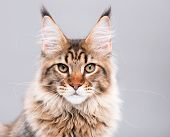 Portrait of domestic black tabby Maine Coon kitten. Cute young cat on grey background. Close-up stud poster