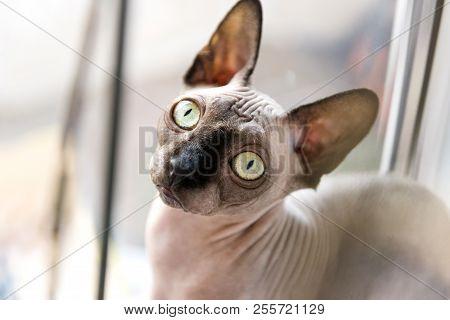 poster of Bald Cat, Cat, Canadian Sphinx, Sphynx, Cat Near The Window, Muzzle Bald Cat, Cat Eyes