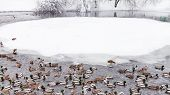 Ducks And Drakes Swimming In Pond In Urban Timiryazevskiy Park In Moscow City In Winter Snowfall poster