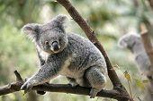 The Joey Koala Is Walking On A Tree Branch poster