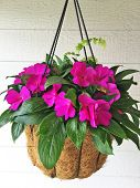 Hot Pink New Guinea Impatience In A Coco Lined Black Wire Hanging Basket With White Background. poster