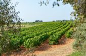 Landscape With Ripe White Wine Grapes Plants On Vineyard In France, White Ripe Muscat Grape Cultivat poster