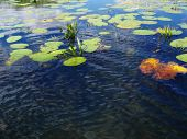 image of sand lilies  - on wave river water blue sky and clouds is reflection - JPG