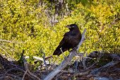 A Scavenger Crow Sitting On Driftwood On A Beach Against A Yellow Foliage Background poster