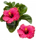 stock photo of hibiscus  - Beautiful tropical pink hibiscus and its leaves - JPG