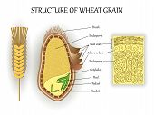 Structure Of Wheat Seed Grain, Vector Infographics Layers Of Endosperm, Bud, Fetus, Pedicel, Hull An poster