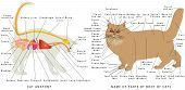 Cat Anatomy. Domestic Cat Anatomy. Cat Organ Anatomy Diagram. Digestive System Of The Cat. Schematic poster