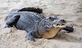 stock photo of gator  - Alligator closeup on sand in Gator Park in Miami - JPG
