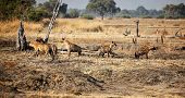 image of hyenas  - group of hyena at luangwa park zambia - JPG