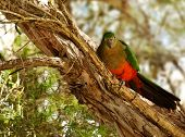 stock photo of king parrot  - Spring Young Immature Australian King Parrot in a paperbark tree - JPG