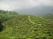 picture of darjeeling  - beautiful tea garden of Darjeeling west bengal india - JPG