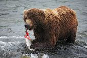 Grizzly Eating