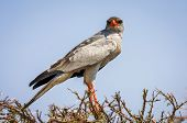 Pale Chanting Goshawk in acacia tree