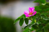 picture of wild-brier  - leaves of wild rose pink summer flower green background wallpaper - JPG