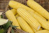 pic of zea  - Basket of ripe yellow corn, stripped of husk and ready for purchase