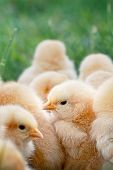 picture of buff  - Little Buff Orpington chicks sitting huddled together in the grass - JPG