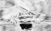 foto of amphibious  - Black and white photo of a frog in water - JPG